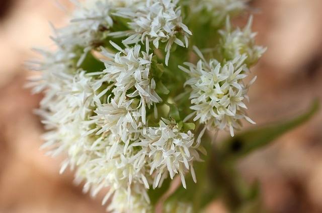 butterbur_for_headaches